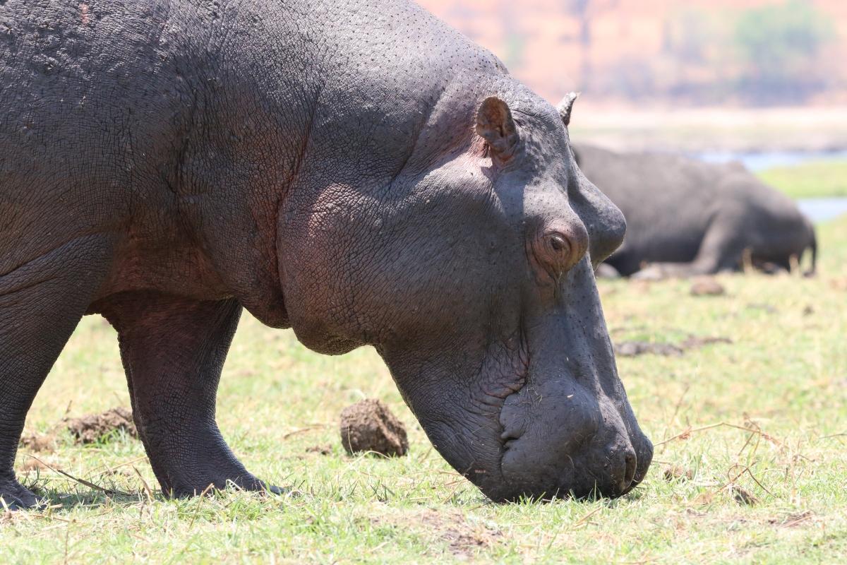 Close up of a Hippopotamus in the Chobe River Namvia Pangolin Photo Safari Africa hippo