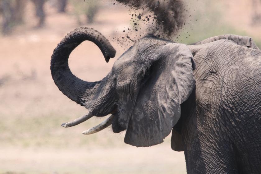 Elephant throwing mud onto itself by the Chobe River Namvia Pangolin Photo Safari Africa