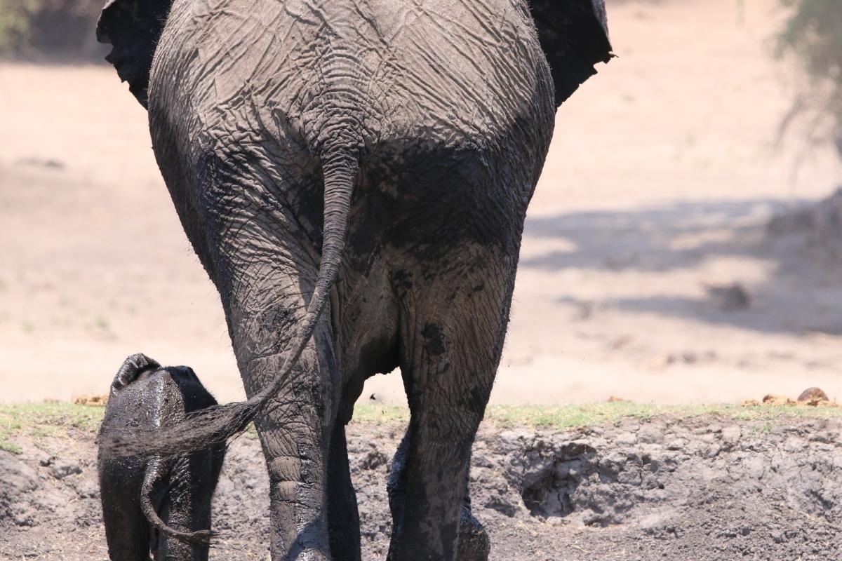 Mother and child elephant walking to the Chobe River Namvia Pangolin Photo Safari Africa