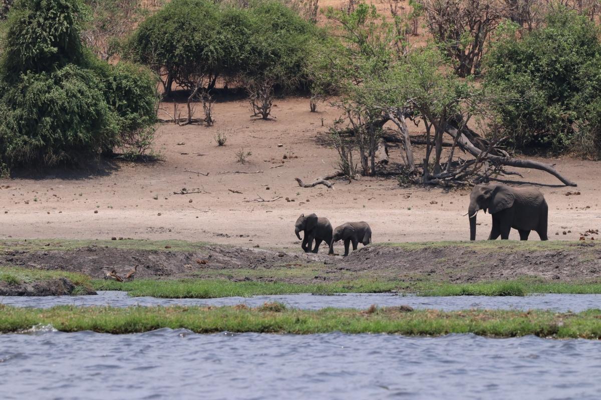 Elephants walking to the Chobe River Namvia Pangolin Photo Safari Africa
