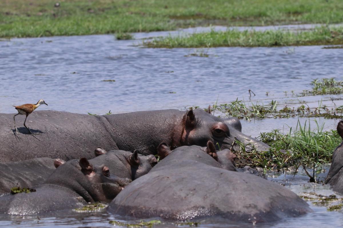 Family of Hippopotamus in the Chobe River Namvia Pangolin Photo Safari Africa hippo