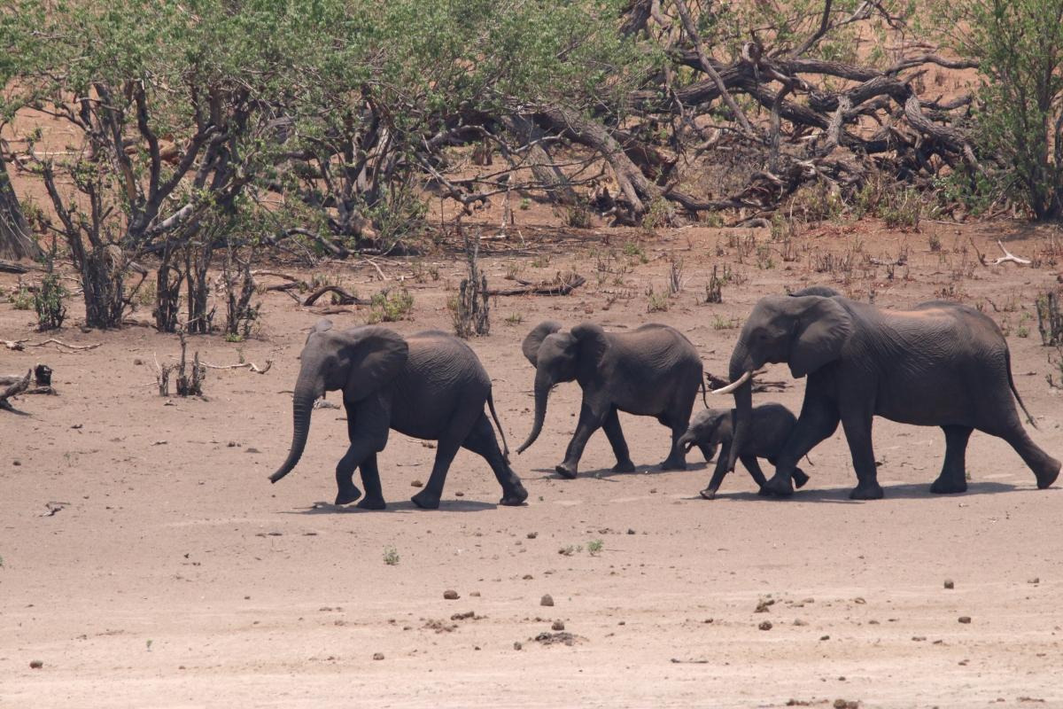 Herd of elephants at the Chobe River Namvia Pangolin Photo Safari Africa